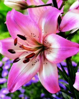 lily bulbs for spring finest quality lilies lilium flower bulbs