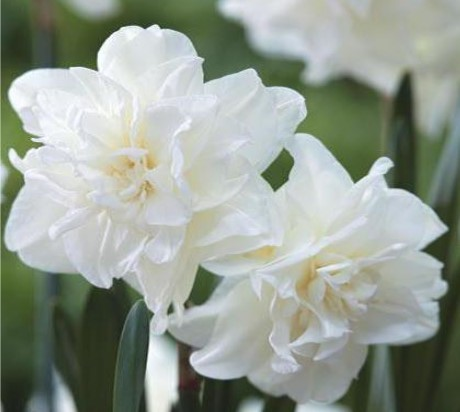 Choosing your Daffodils