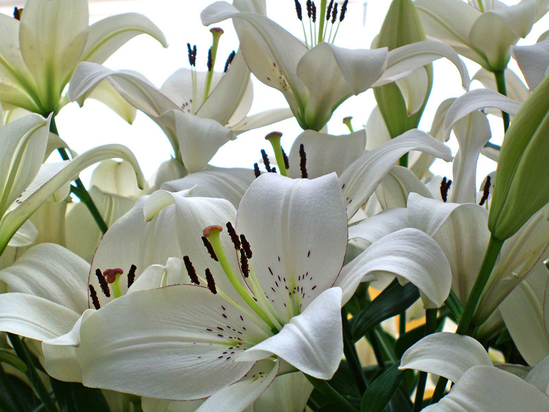 When should Lilies really be planted?