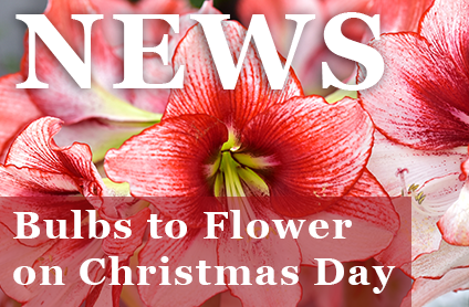 Bulbs to Flower on Christmas Day