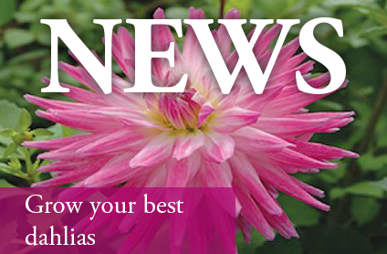 Grow Your Best Dahlias