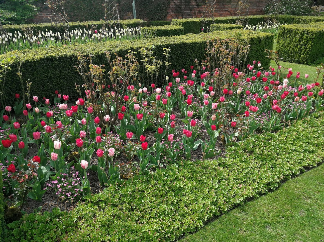 How To Care for Your Tulips
