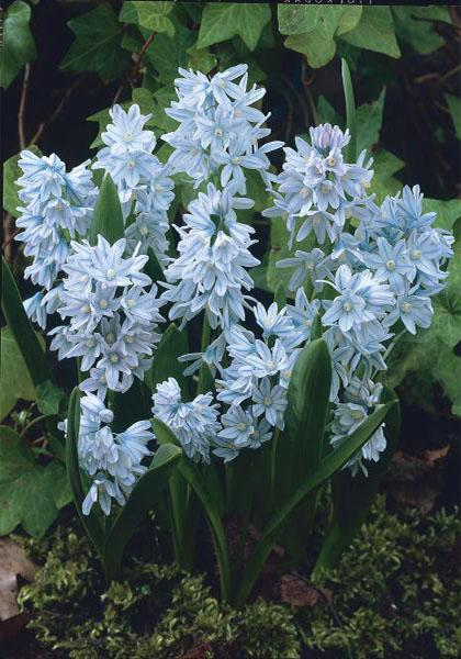 20 Free Striped Squill!