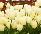 Bloms Bulbs Win 65th Gold Medal at Chelsea Flower Show