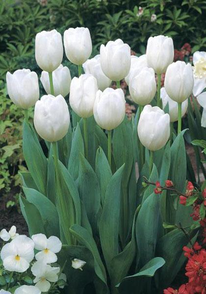 White dream bulbs tulips bulbs white dream buy tulips flower white dream mightylinksfo