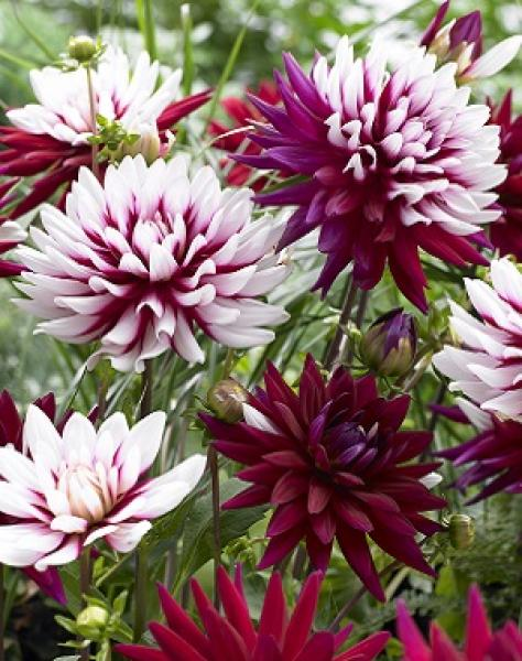 Our Large Flowered Dahlias Can Provide Beautiful Garden Plants And Are Perfect Growers In Pots Borders With A Great Selection Of Decorative